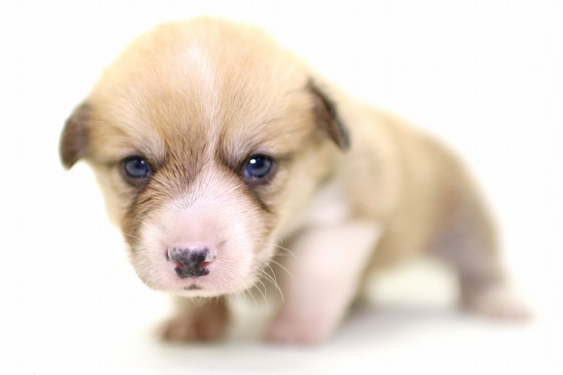 ウェルシュコーギーの子犬写真