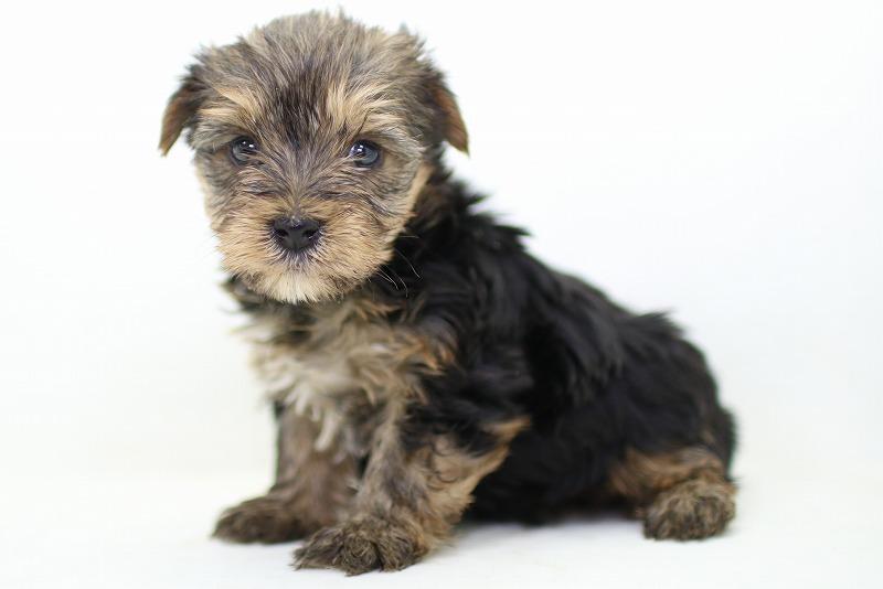 ヨークシャーテリアの子犬写真