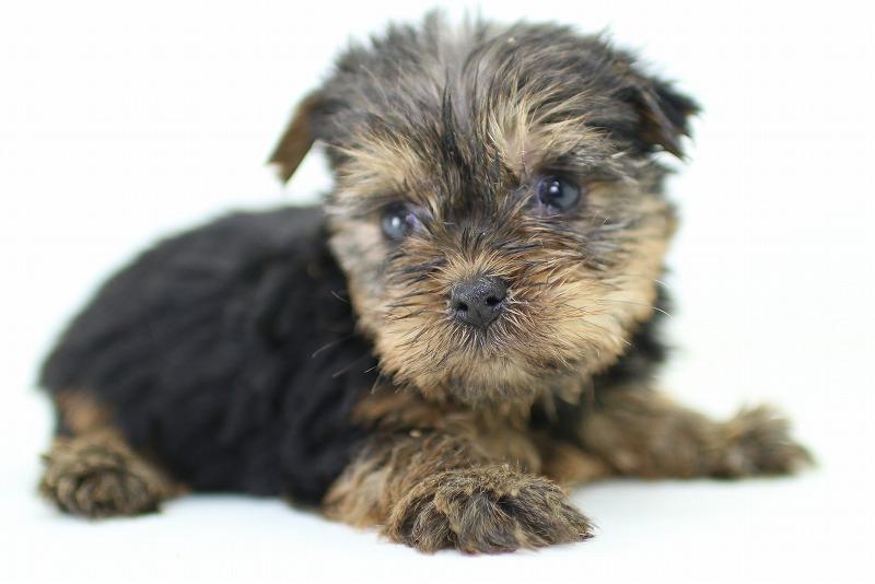 ヨーキーの子犬写真